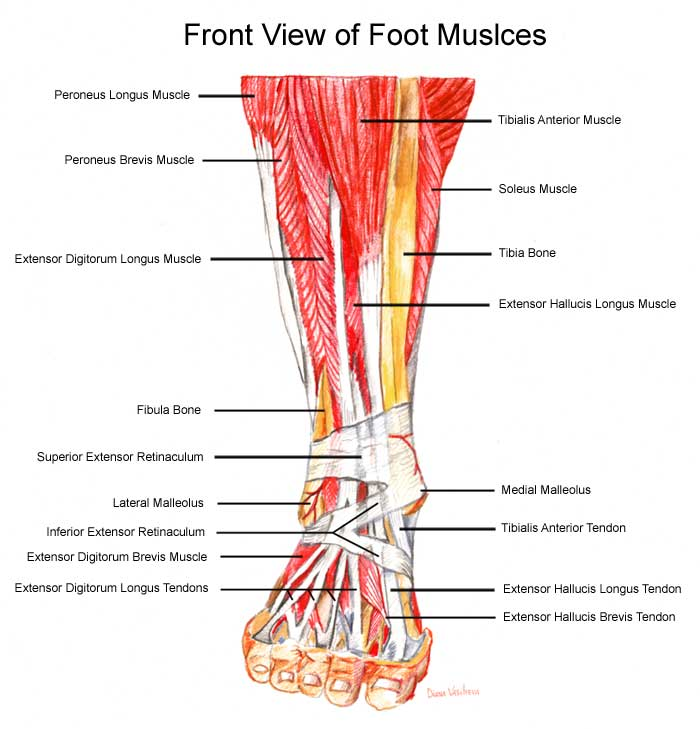 Three tendons that run the length of the top of the foot one of which